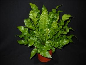 125mm Crispy Wave fern