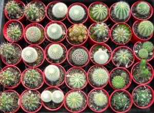 70mm Cacti